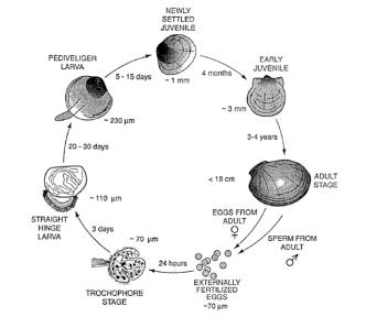 scalloplifecyle