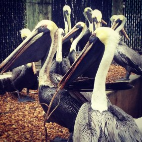Brown Pelicans. Pelecanus occidentalis